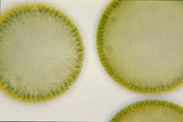 Image of Globe Algae