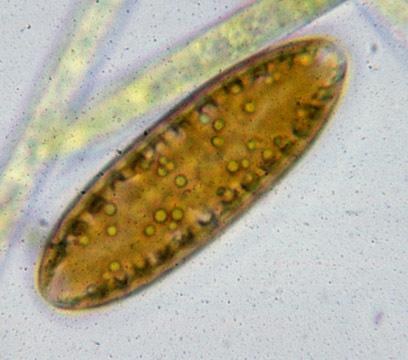 Image of <i>Surirella biseriata</i>