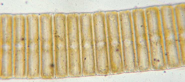 Image of <i>Eunotia pectinalis</i>