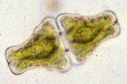 Image of <i>Euastrum ansatum</i> Ehrenberg ex Ralfs 1848