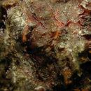 Image of <i>Sarea resinae</i> (Fr.) Kuntze