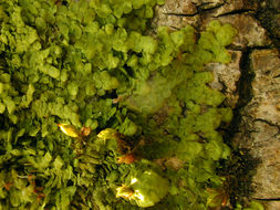 Image of <i>Radula complanata</i> (L.) Dumort.
