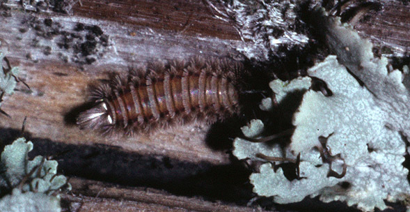 Image of bristly millipede