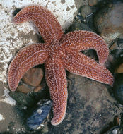 Image of Common sea star