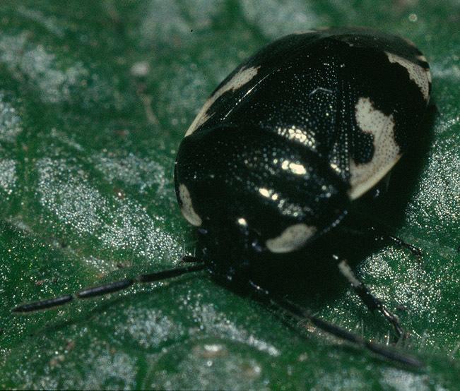 Image of <i>Tritomegas bicolor</i>