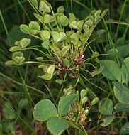 Image of Phytoplasma trifolii