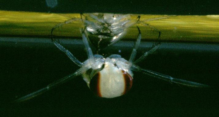 Image of Notonecta glauca