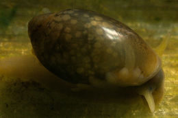 Image of Common Bladder Snail