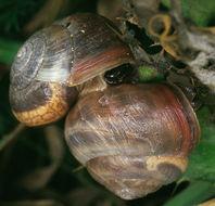 Image of Kentish gardensnail