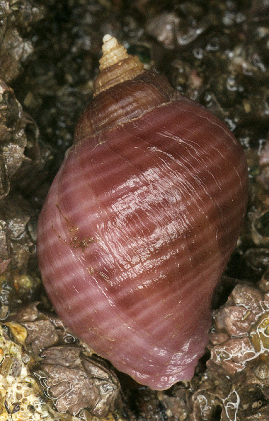 Image of Dog whelk