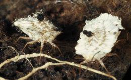 Image of <i>Newsteadia floccosa</i> (De Geer 1778)