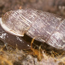 Image of two-toothed door snail