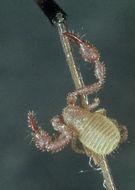 Image of <i>Chernes cimicoides</i> (Fabricius 1793)