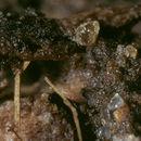 Image of Myxogastrea