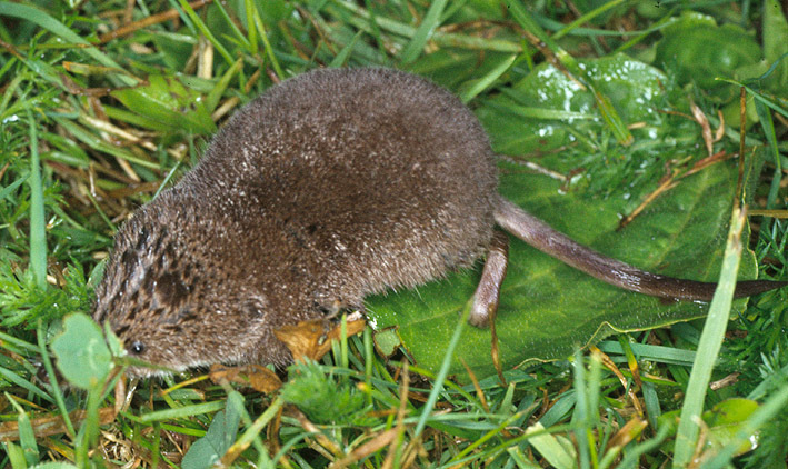 Image of red-toothed shrews