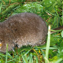 Image of Long-tailed shrews