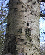 Image of Brown Birch