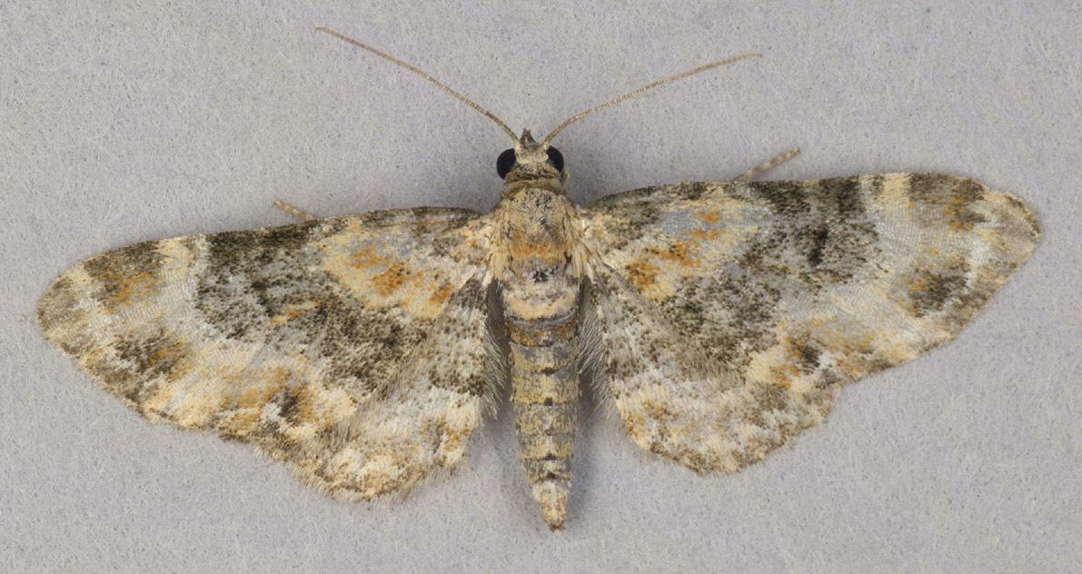 Image of <i>Eupithecia <i>pulchellata</i></i> ssp. pulchellata