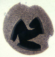 Image of Hat-thrower fungus