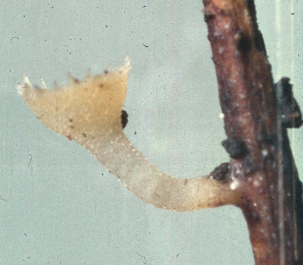 Image of <i>Crocicreas coronatum</i>