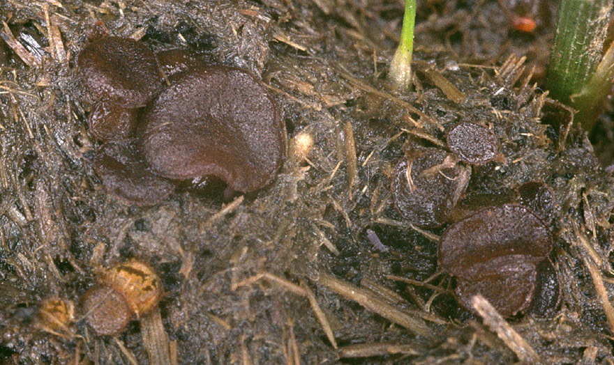 Image of <i>Ascobolus stercorarius</i>
