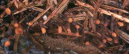 Image of <i>Heyderia abietis</i> (Fr.) Link 1833