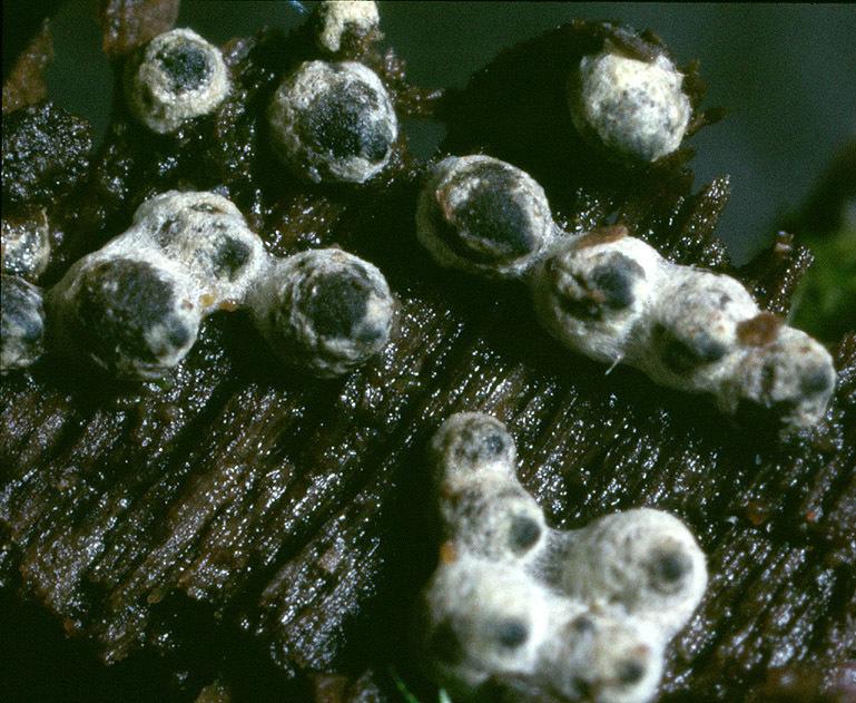 Image of <i>Lasiosphaeria ovina</i> (Pers.) Ces. & De Not. 1863