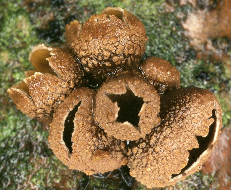 Image of <i>Encoelia furfuracea</i> (Roth) P. Karst. 1871
