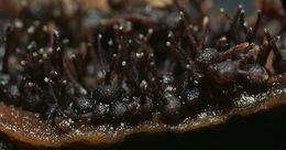 Image of <i>Melanospora lagenaria</i> (Pers.) Fuckel 1870