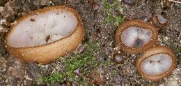 Image of <i>Humaria hemisphaerica</i> (F. H. Wigg.) Fuckel 1870