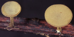 Image of <i>Lanzia luteovirescens</i> (Roberge ex Desm.) Dumont & Korf 1978