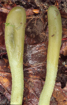 Image of green earth tongues