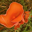 Image of Orange peel fungus