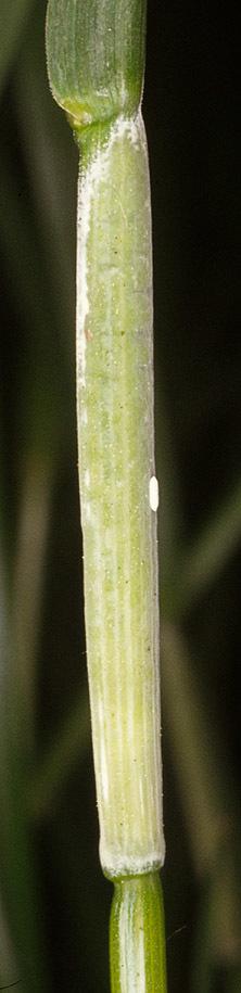 Image of <i>Epichloe typhina</i>