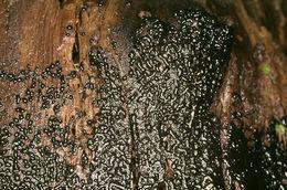 Image of <i>Metatrichia floriformis</i>