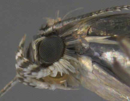 Image of <i>Glyphipterix simpliciella</i> Stephens 1834