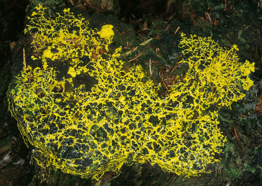 Image of Dog Vomit Slime Mold