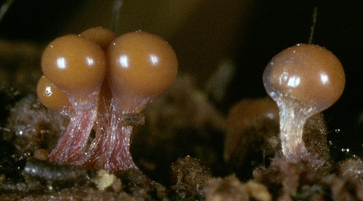 Image of <i>Hemitrichia clavata</i>