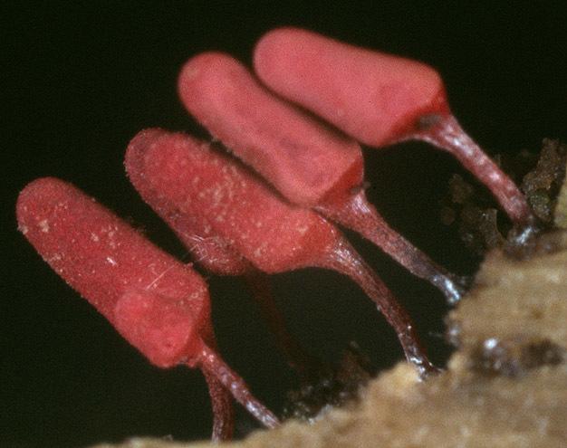 Image of <i>Arcyria denudata</i>