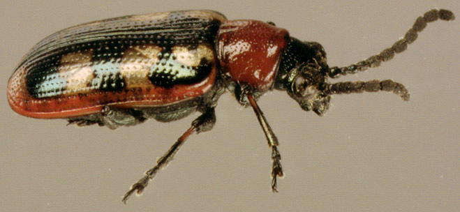Image of Common asparagus beetle