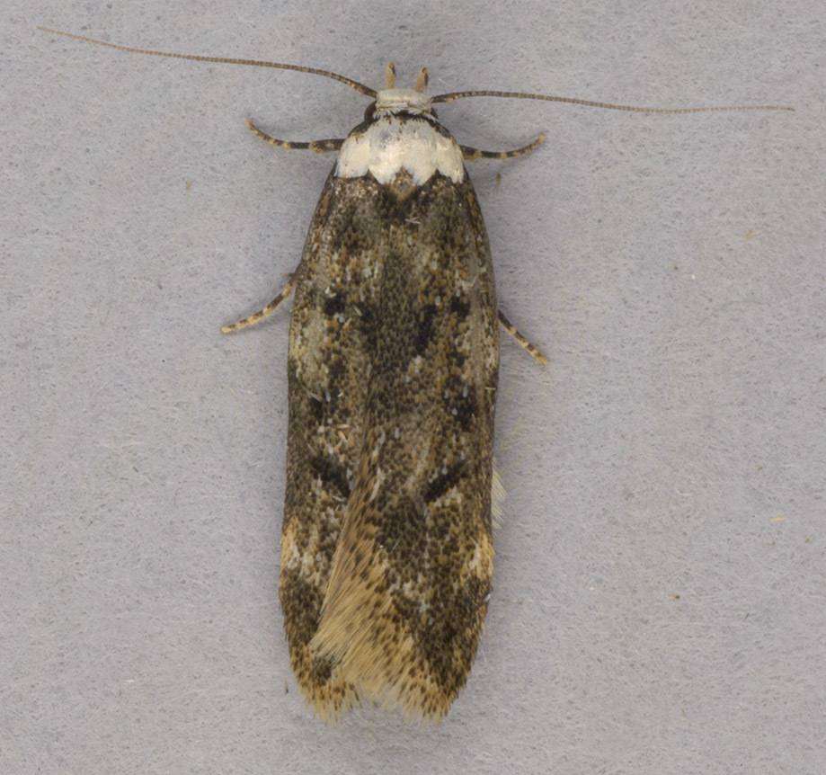 Image of White-shouldered House Moth