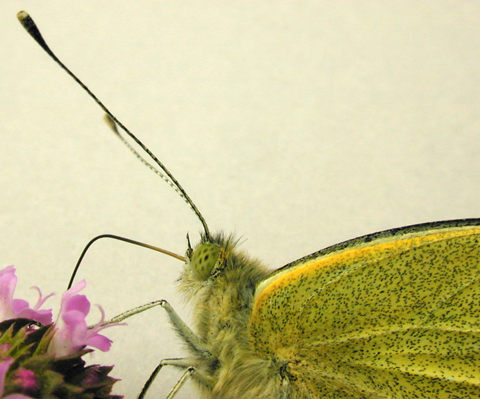 Image of cabbage butterfly