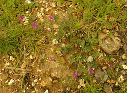 Image of garden vetch