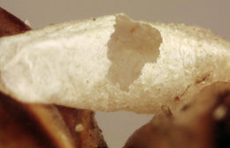 Image of <i>Hyssopus olivaceus</i> (Thomson 1878)