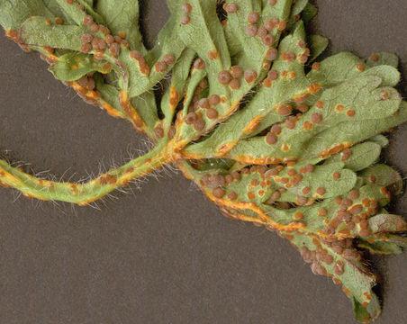 Image of <i>Puccinia malvacearum</i> Bertero ex Mont. 1852
