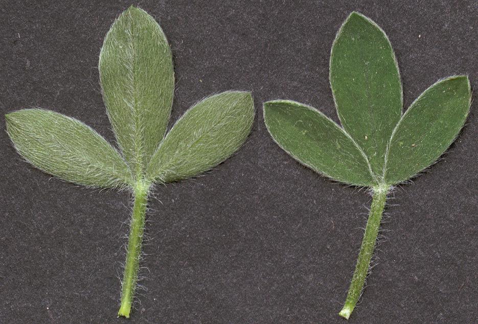 Image of <i>Cytisus <i>scoparius</i></i> scoparius