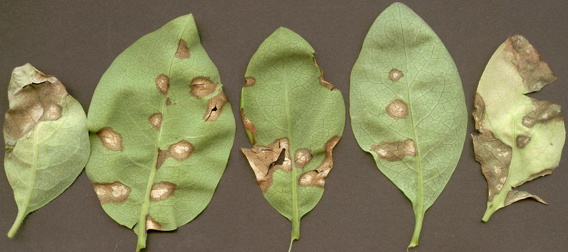 Image of <i>Kabatia periclymeni</i> (Desm.) M. Morelet 1975