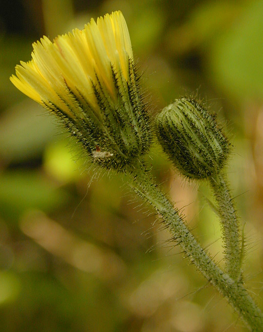 Image of <i>Pilosella <i>flagellaris</i></i> ssp. flagellaris