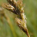 Image of Oval Sedge