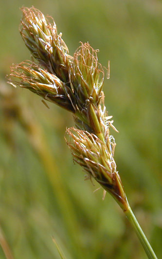 Image of eggbract sedge